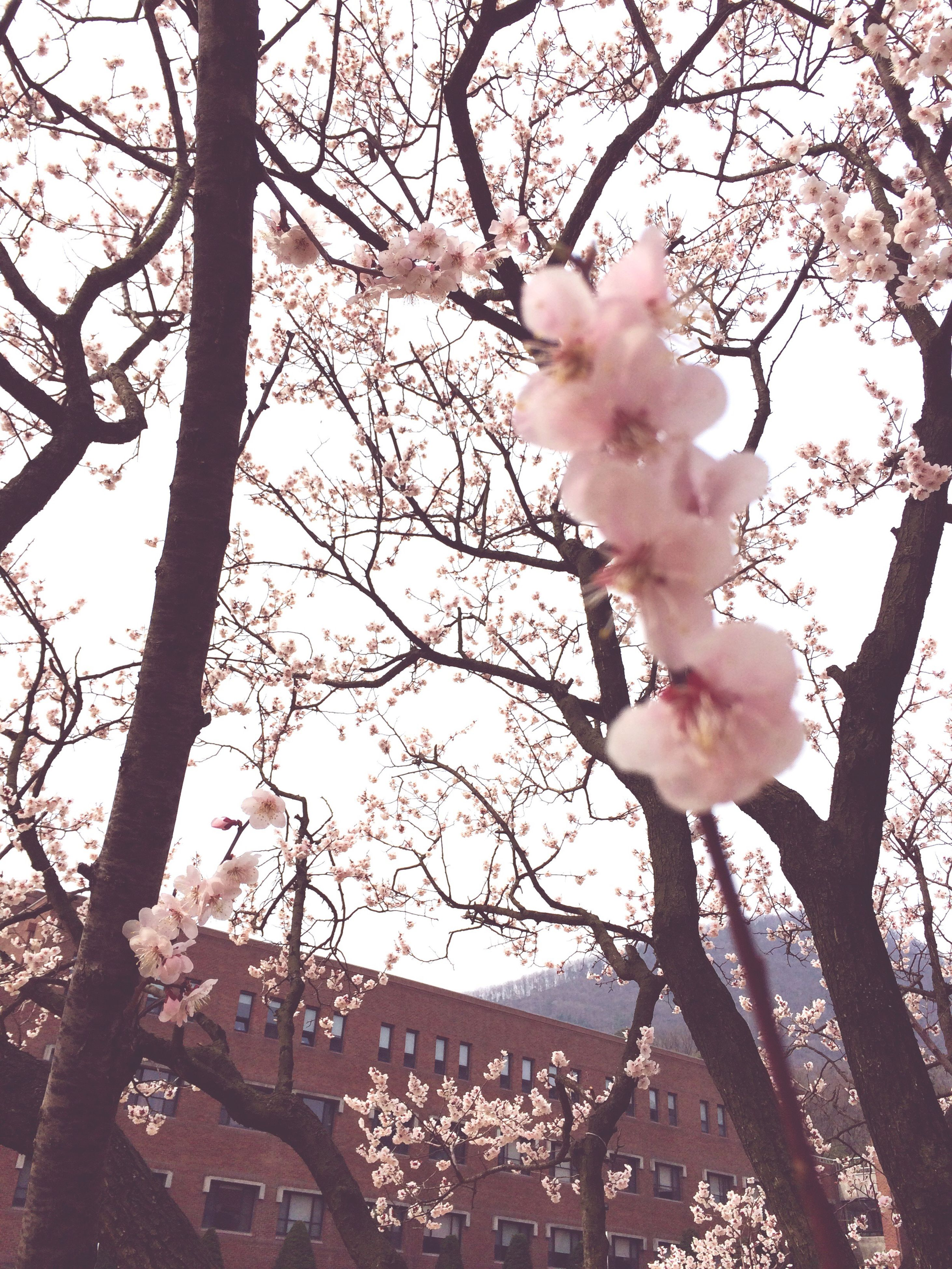 flower, tree, branch, pink color, cherry blossom, fragility, cherry tree, freshness, growth, blossom, beauty in nature, sky, low angle view, nature, building exterior, petal, in bloom, pink, built structure, springtime