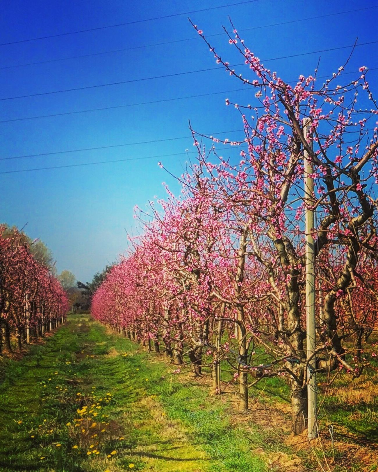 Fiori Fioritura Flower Flowers Spring Primavera Spring Flowers Rosa Pink Color Pink Frutta Fruit Scents Tuscany Toscana Italy Italia Igers Igersitalia Igerstoscana Igersarezzo Volgo Volgoitalia Volgotoscana Volgoarezzo