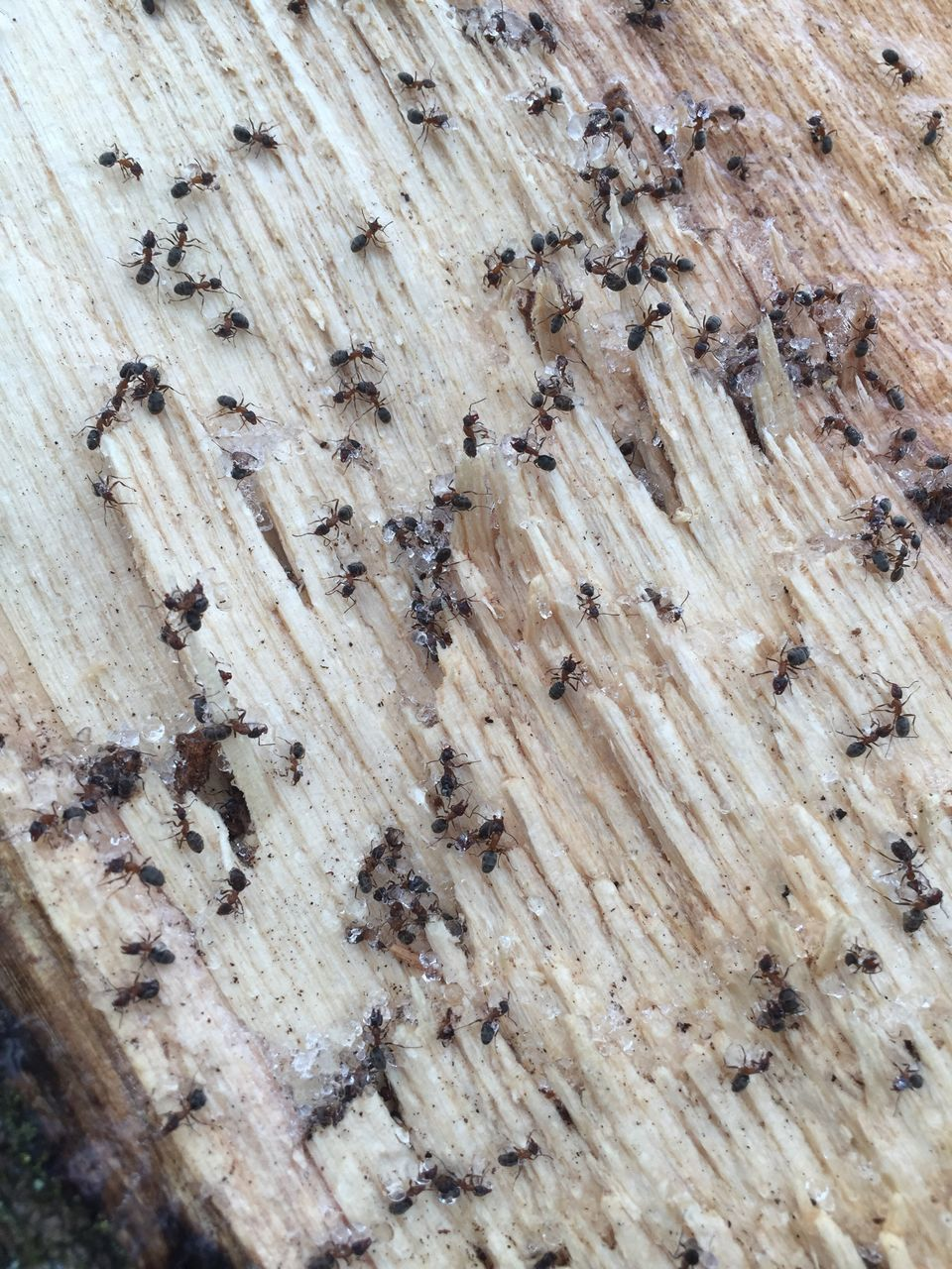 wood - material, no people, large group of animals, insect, close-up, indoors, food, day, animal themes
