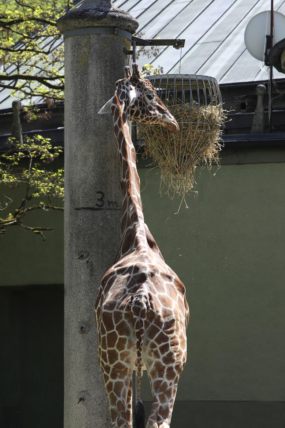 Animal Animal Themes Close-up Day Giraffe Giraffe♥ Nature No People One Animal Outdoors Tree