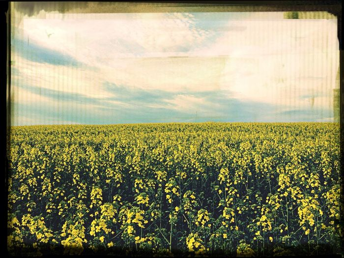 Spring Fields Of Yellow