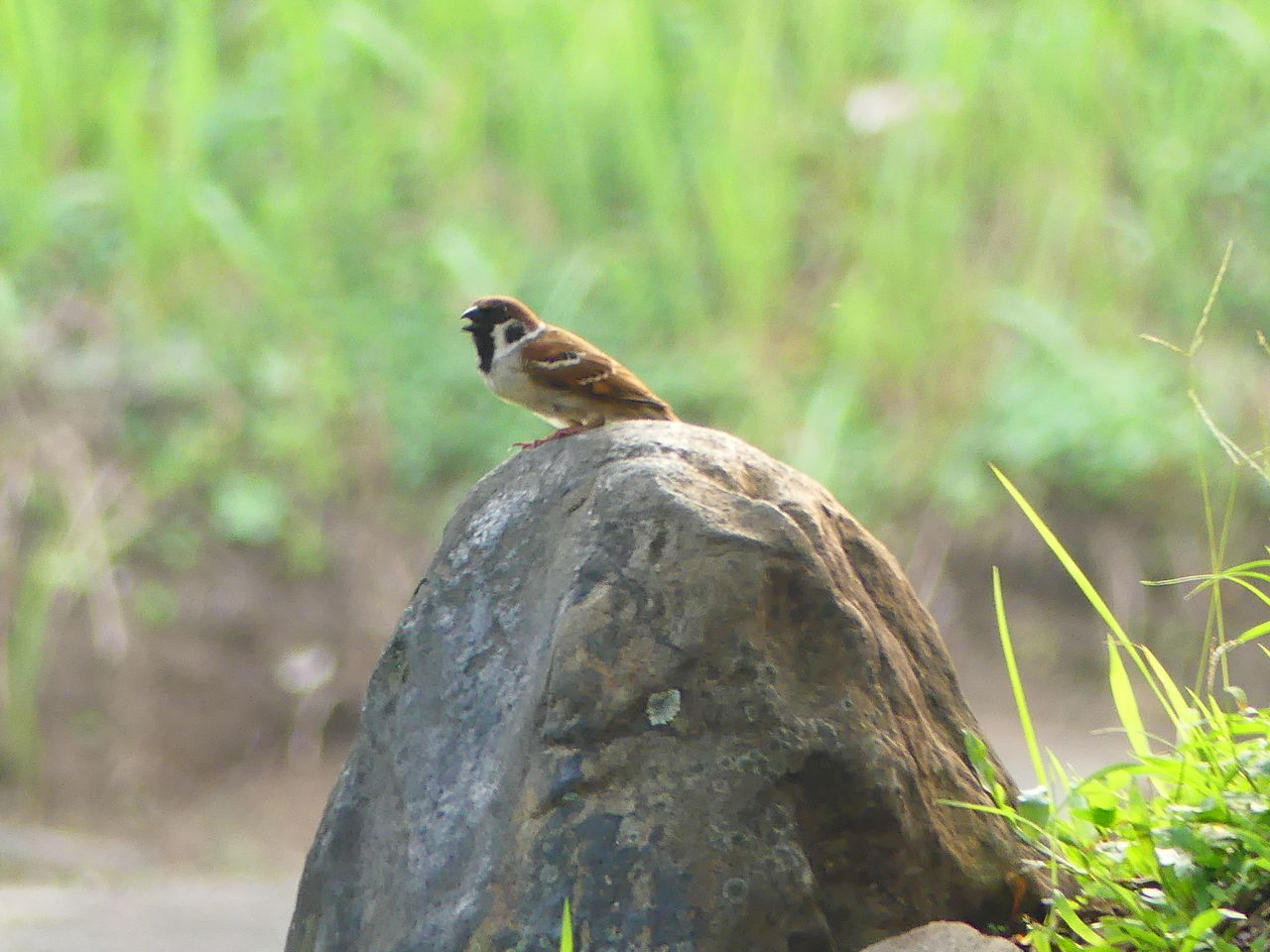 Chirp Chirps Chirpchirp Bird Animal Wildlife Animals In The Wild One Animal Nature Animal Animal Themes Perching Outdoors No People Day Beauty In Nature Portrait Grass Capture The Moment Places Around The World Make Me Remember You  Capture The Light Somewhere I Remember Somewhere Over The Rainbow Somewhere In The World Beauty In Nature