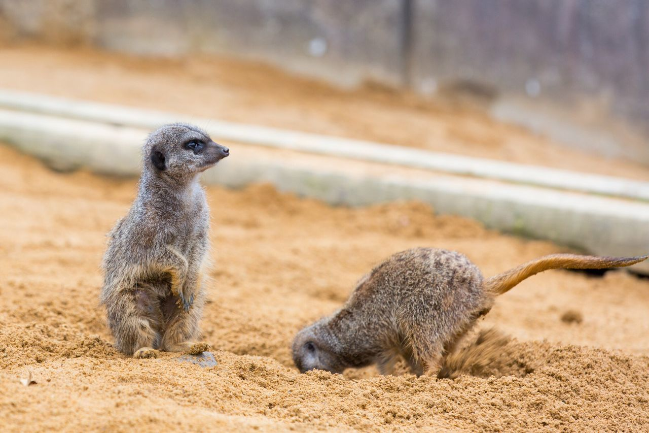 Animal Themes Animals In The Wild Animal Wildlife Meerkat Mammal Focus On Foreground Field Outdoors One Animal Day Rearing Up Nature No People Movement Sand Low Angle View Nature Photography Zoo Nature Meerkat Animals In The Wild
