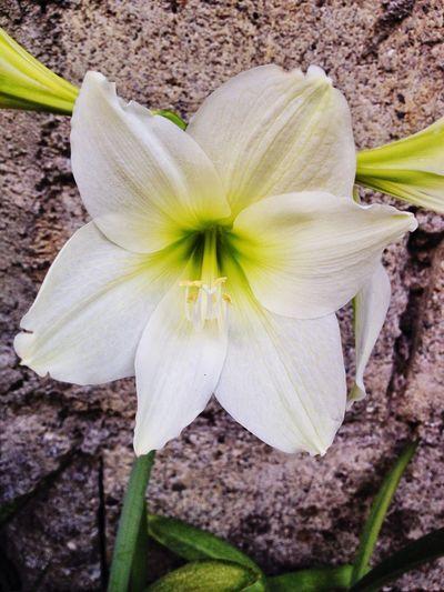 Taking Photos IPhoneography Iphoneonly Mobile Photography Flower Yanikuyet Bloom Photooftheday Enjoying Life Hello World