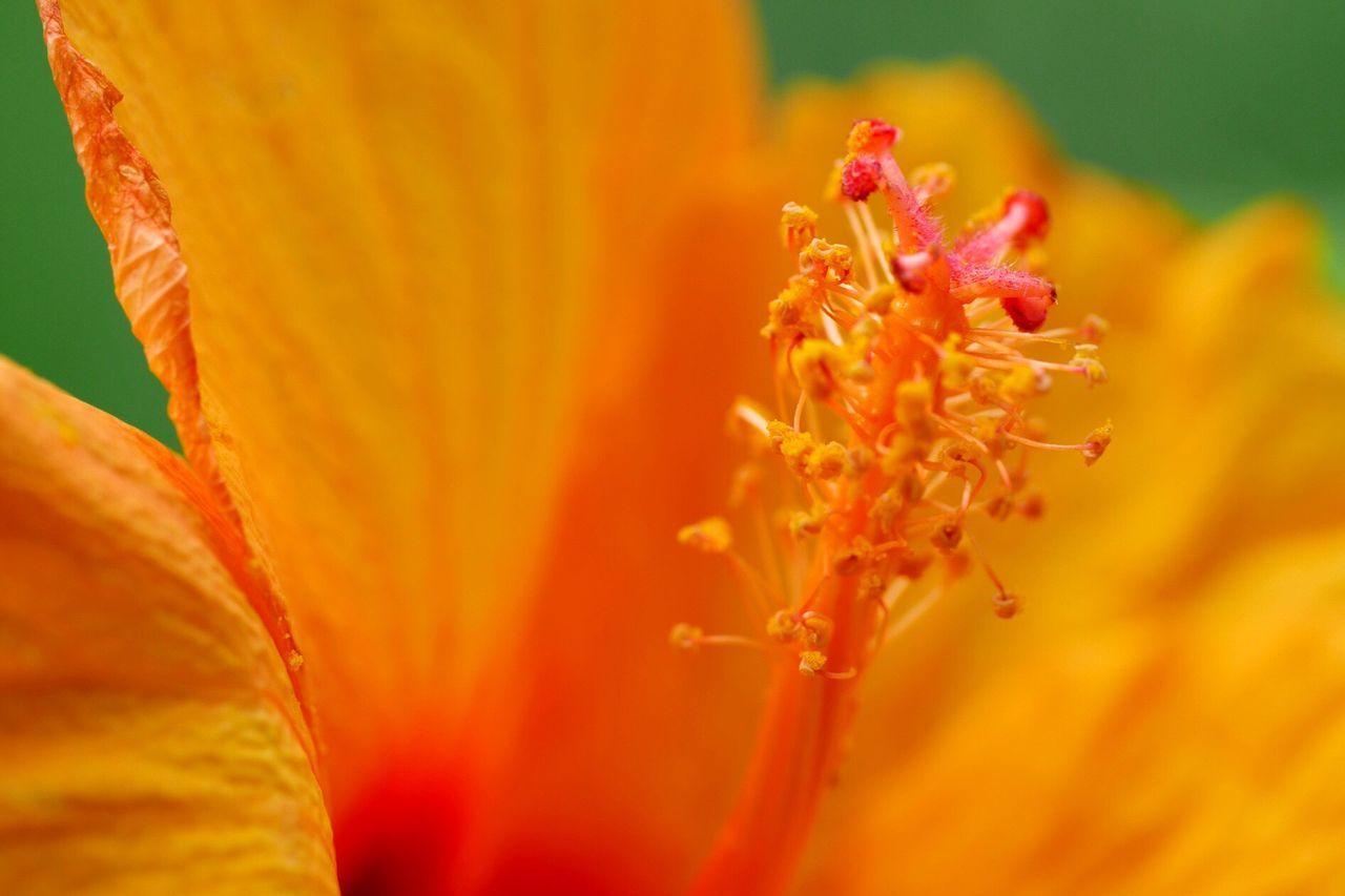 Macro Beauty Macro Macro_flower Macro Photography EyeEm Gallery EyeEm Best Shots On My Balcony Nature Flowerporn Flowers Hibiscus Hibiscus 🌺 Nature_collection Flowers, Nature And Beauty