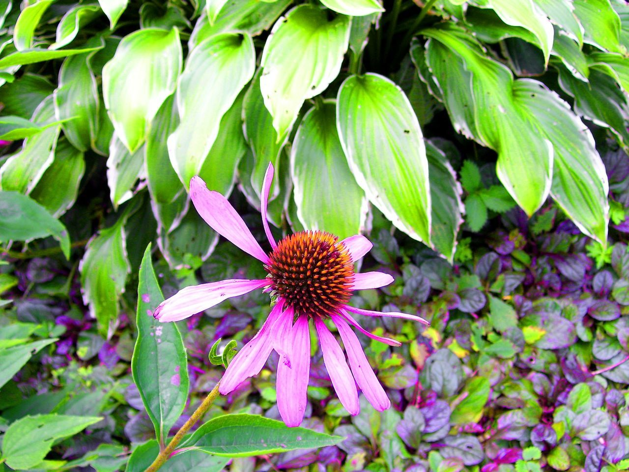 Beauty In Nature Blooming Close-up Cone Flower Day Eastern Purple Coneflower Echinacea Echinacea Flower Echinacea Purpurea Flower Flower Head Fragility Freshness Green Color Growth Herbal Herbal Medicine Herbal Remedy Leaf Nature No People Outdoors Petal Plant