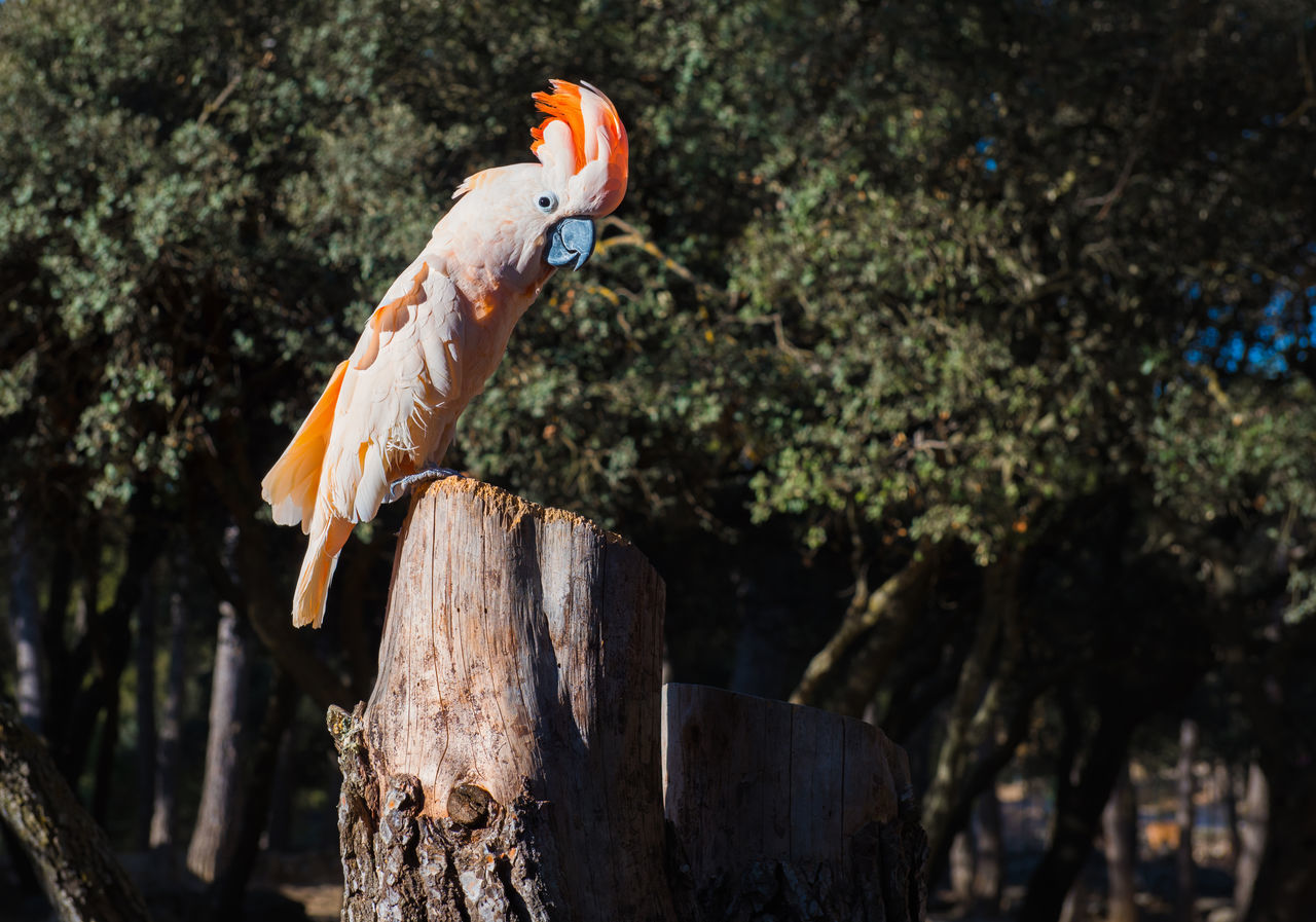 The Salmon-crested cockatoo perching on a tree stump Aitana Animal Themes Beauty In Nature Bird Birds Wildlife Branch Cockatoo Day Europe Feather  Nature No People One Bird Outdoors Parrot Safari Salmon-crested Cockatoo South SPAIN Specie Tree Stump Tree Trunk Wild Wildlife Zoo