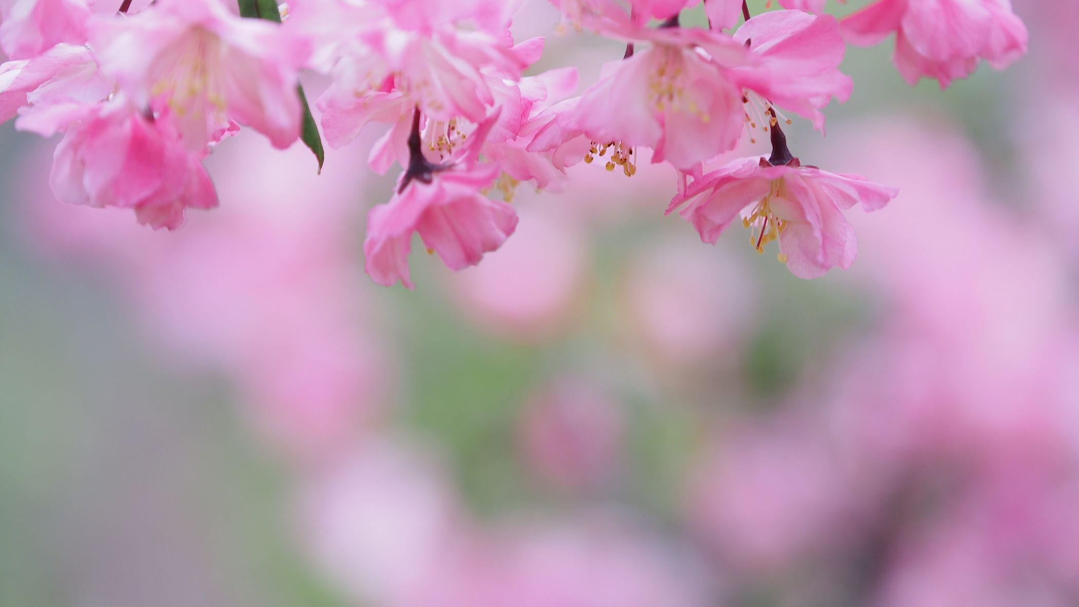 どこが痛いの? Flower Pink Color Beauty In Nature Fragility Nature Blossom Growth Springtime Petal Branch Freshness Twig Day Close-up Flower Head Outdoors EyeEmNewHere EyeEm Best Shots EyeEm Nature Lover Focus On Foreground Blooming 花海棠 ハナカイドウ Olympus OM-D EM-1 ここ。