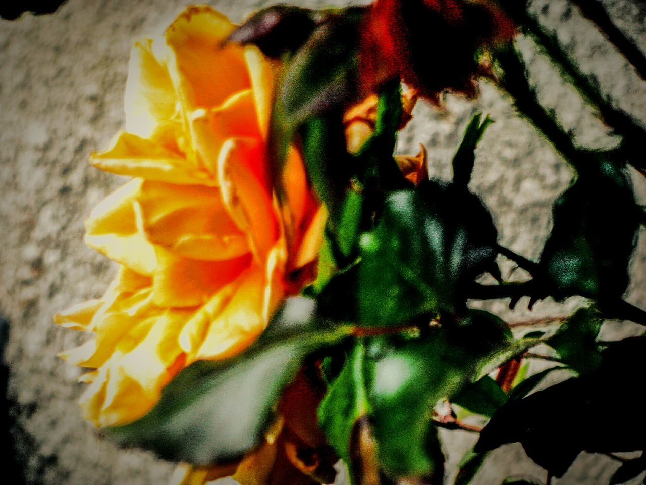Urban Spring Fever Rosé Yellow Rose Yeah Springtime! Rose🌹 Roses Roses🌹 Flowers Flower Flower Collection Urban Gardening Garden Greenery Shades Of Yellow No People Blooming Blossom Yellow Flower Yellow Blossom Nature Nature_collection Beauty In Nature Beautiful Nature Tranquil Scene A Moment Of Zen...