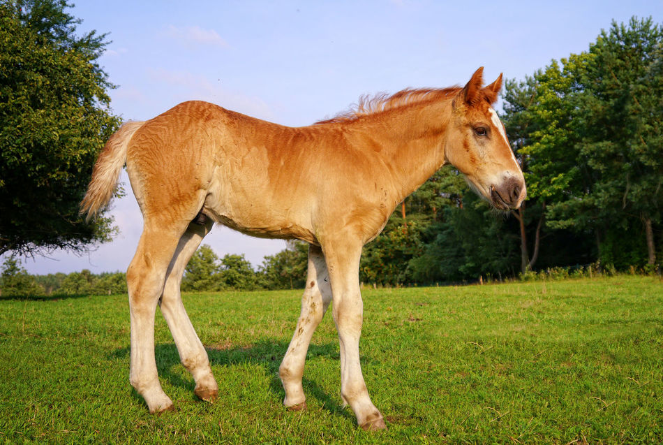 Colt horse Animal Themes Baby Horse Brown Colt Day Grass Grass Green Color Horse Horse Life Horse Photography  Landscape Livestock Nature No People One Animal Outdoors Sky