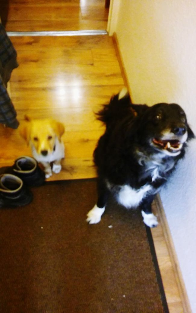 Two Is Better Than One Dogs Babydog Border Collie Pets Love Home Sweet Home Mylife