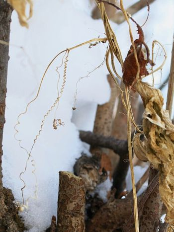 Winter Nikonphotography Nikon Branch Wild Cucumber Branches Bark Vines Spiral Flora