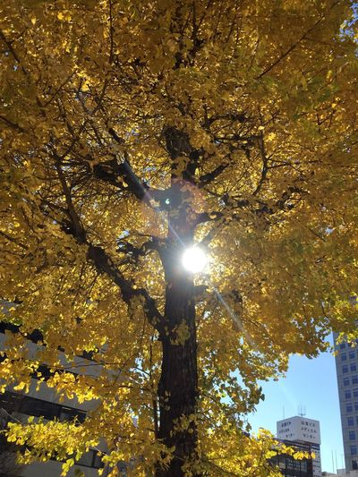 Tree Sunlight Sun Lens Flare Autumn Branch Illuminated Low Angle View Nature Beauty In Nature Outdoors No People Close-up Freshness Day tree, Street Photography Tourist Attraction  Street Photo Japanese Garden Japan Japanese Art And Nature Tree