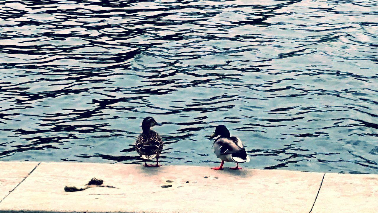 Ducks Water