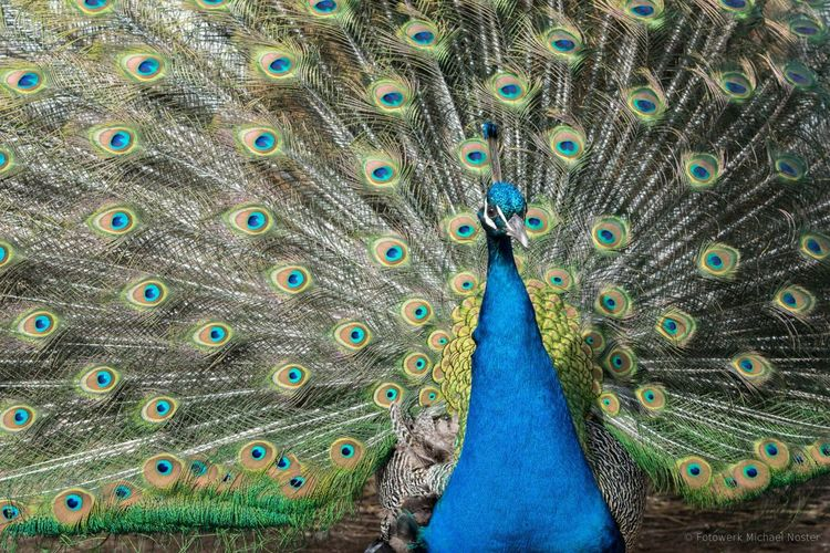 Peacock Peacock Feather One Animal Bird Feather  Animal Nature Blue Pet Portraits