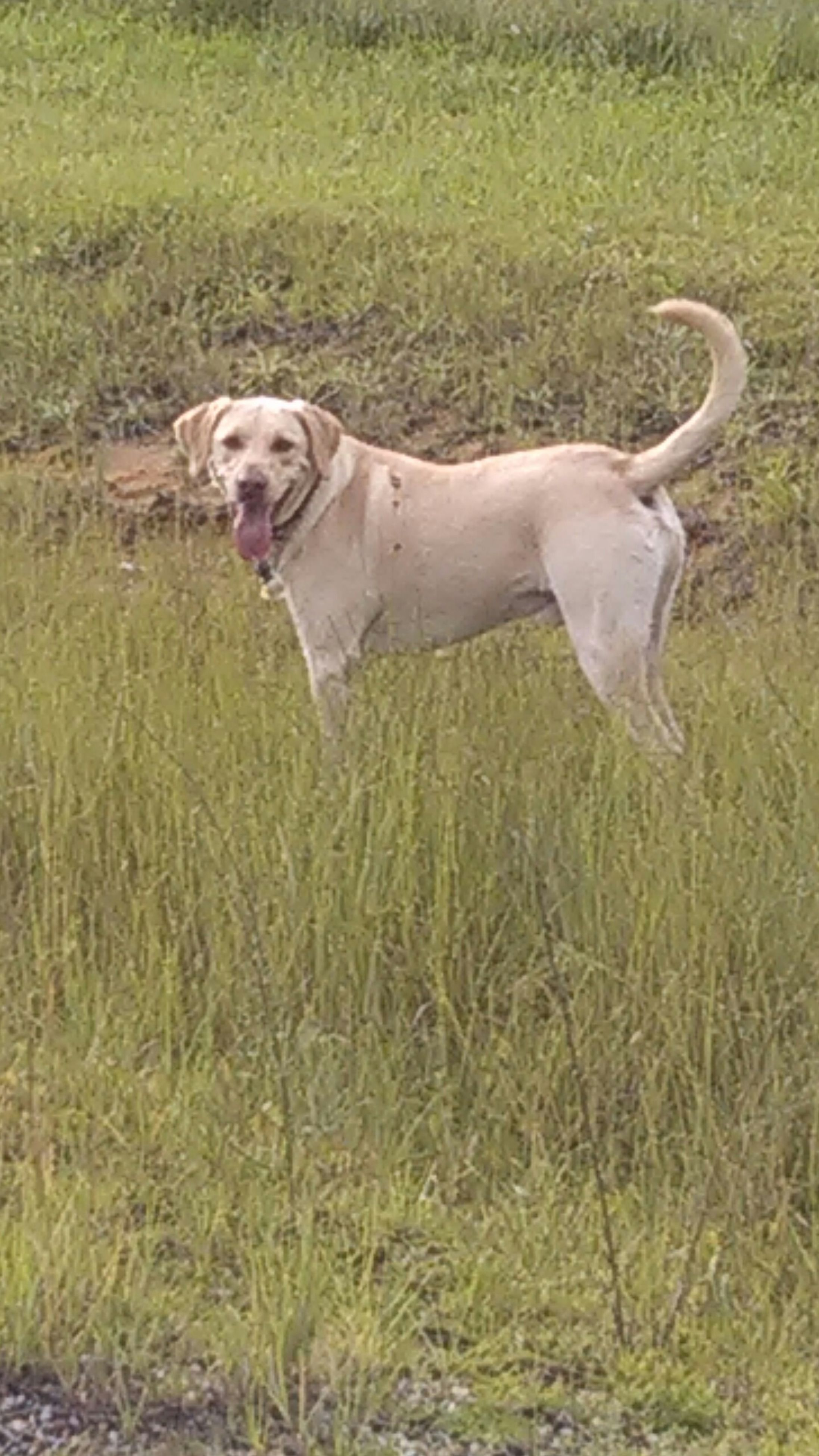 animal themes, grass, one animal, field, domestic animals, grassy, mammal, pets, full length, dog, green color, nature, side view, standing, two animals, day, outdoors, running, animals in the wild, no people