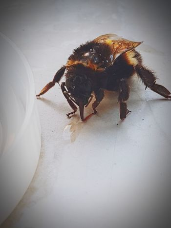 Hummelrettung 🐝🐝🐝 Insect Animal Wildlife One Animal Animals In The Wild Close-up Nature Bumblebee Bumble Bee 🐝 Bumble Bee Bumblebees Bumblebee💘 Hummel Hummeln Hummel 🐝 Hummelrettung🐝🏥 Gelsenkirchen ♡ Gelsenkirchen Frühlingsgefühle Fall Collection Frühling 2017 Frühling Frühling 2017🌾 Frühjahr 2017 🌼 Frühjahr