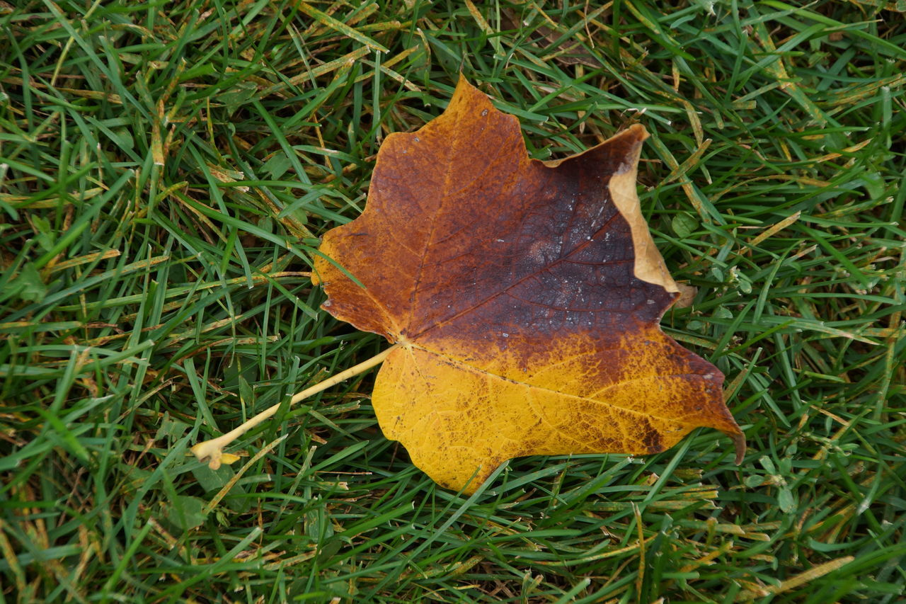 Close-Up Of Dry Maple Leaf On Grassy Field