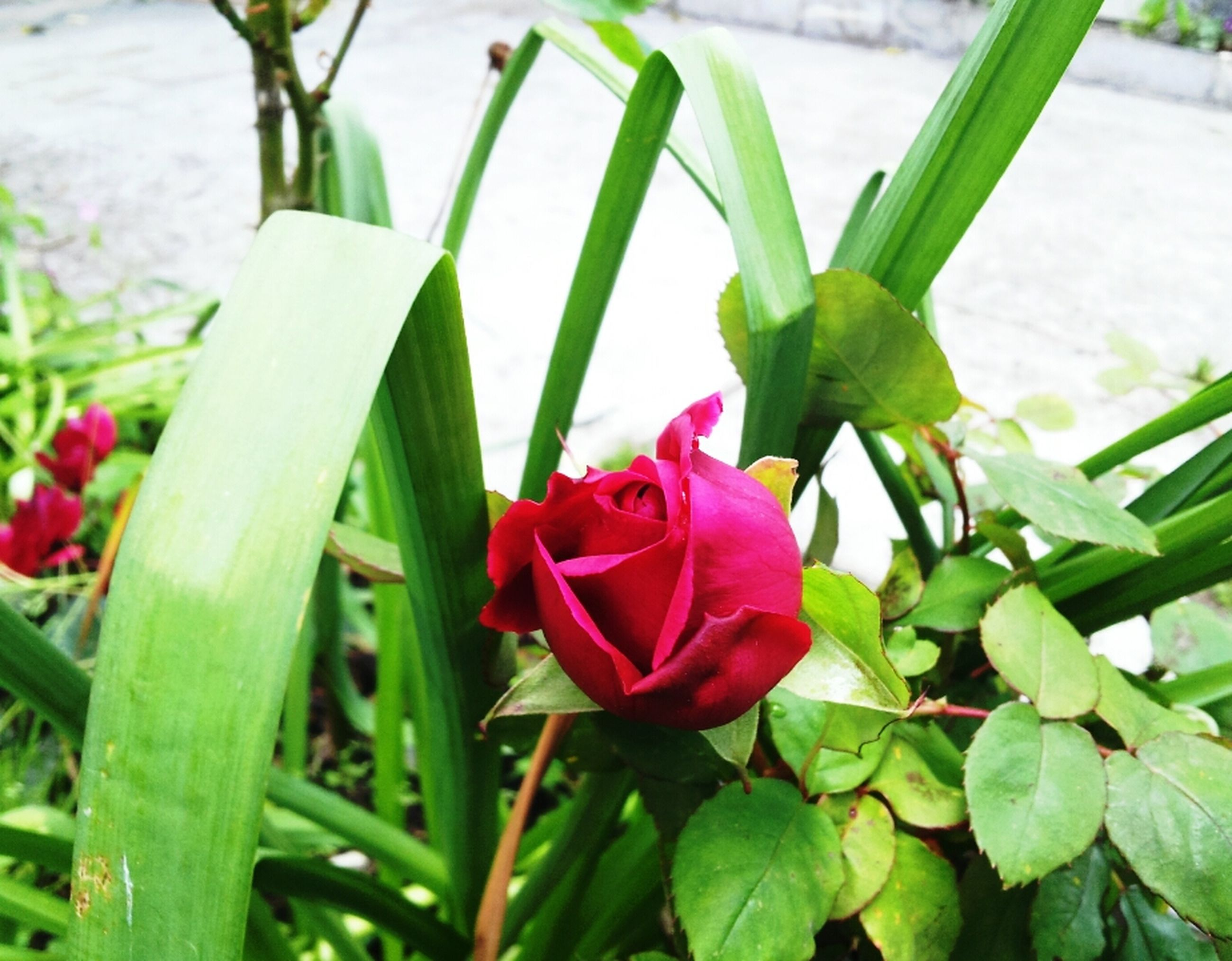 flower, growth, petal, leaf, freshness, plant, flower head, fragility, green color, beauty in nature, close-up, nature, pink color, single flower, focus on foreground, blooming, park - man made space, day, outdoors, no people