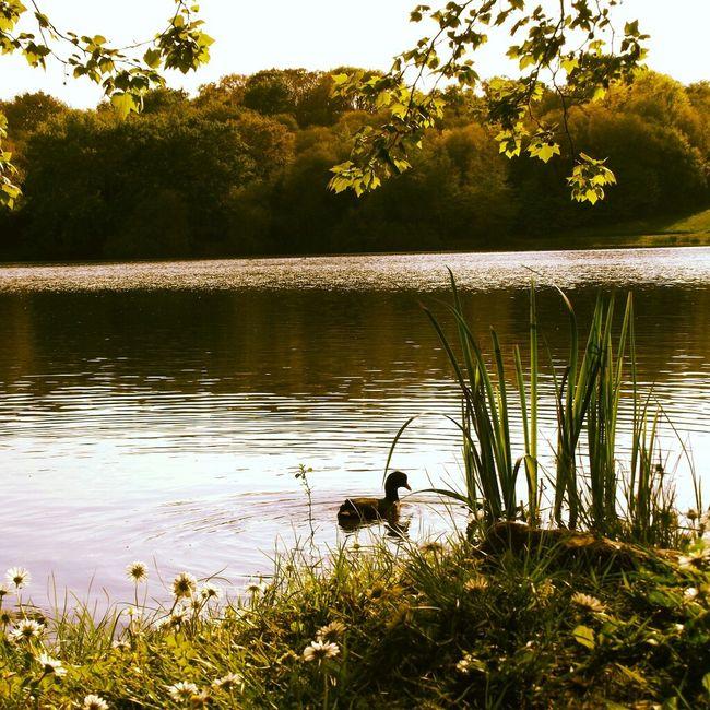 Swimming Enjoying The View Lake Ducks