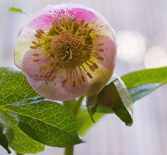 Hellebore Pink Lady Beauty In Nature Blooming Botany Close-up Flower Flower Head Fragility Freshness Growth Hellebore Hellebore Pink Lady Hellebores Nature New Life No People Petal Pink Lady Pollen Single Flower Softness Springtime