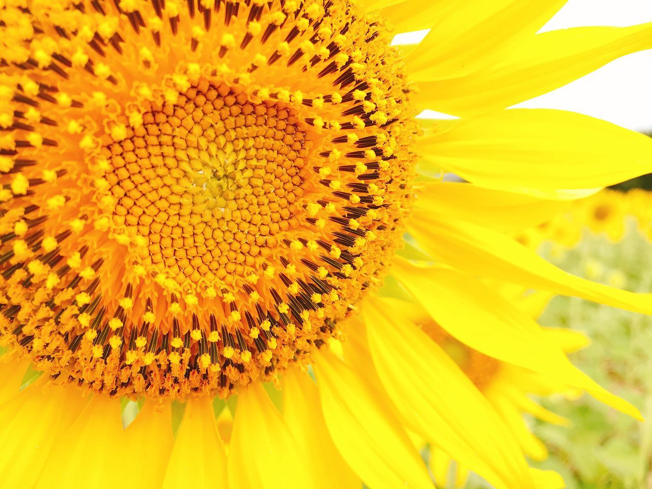 Sunflower close up Close-up Beauty In Nature Flower Yellow Flower Head Nature Plant Garden Flowers Outdoors Sunflower