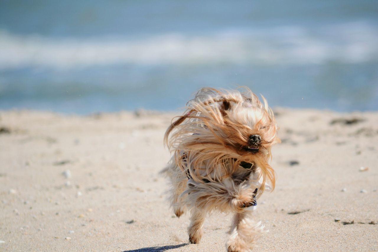 Beach Life Yeah Springtime! Yorkie Yorkshire Terrier Dog Beach Showcase April Beach Photography Sunny Day Walking The Dog Speed Hair Wind Springtime Seaside Rest & Relax Fresh On Market May 2016 Fresh On Market 2016