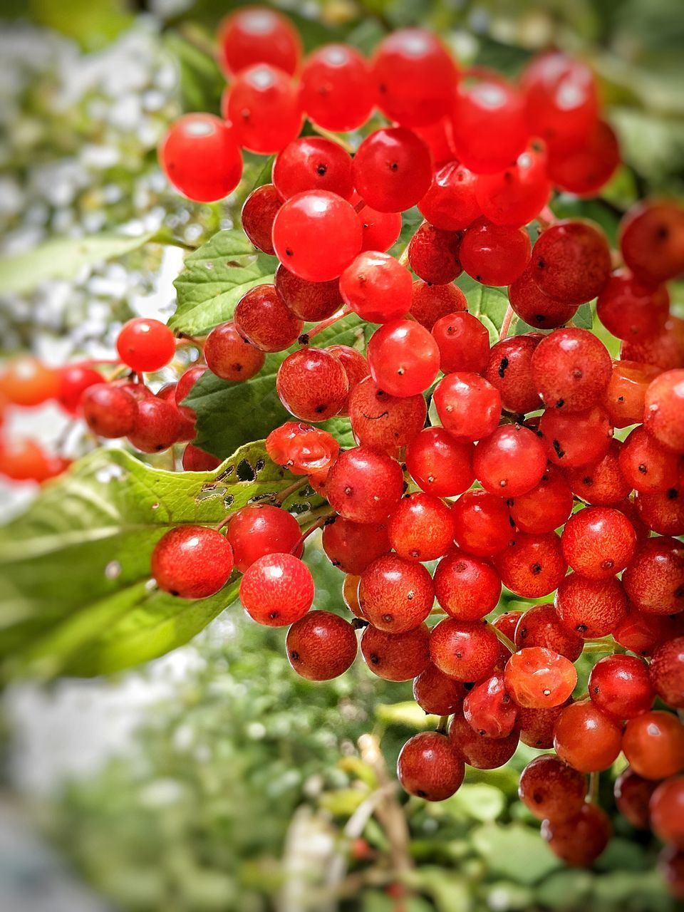 red, growth, food and drink, focus on foreground, close-up, freshness, fruit, food, day, no people, outdoors, nature, tree, healthy eating, beauty in nature, water