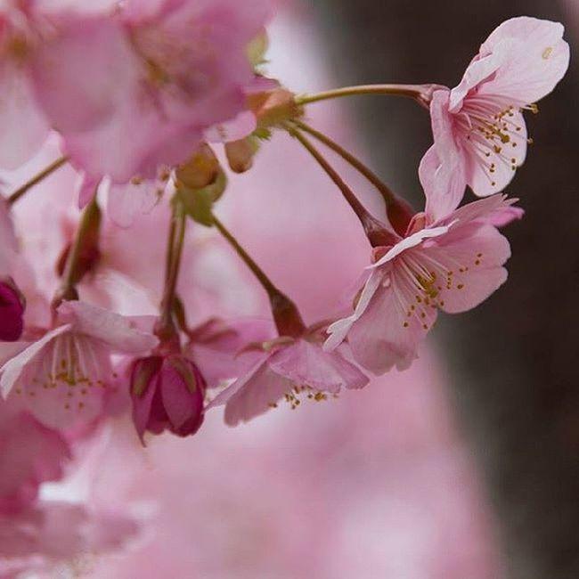 Lusciously pink Instagram Instagood Amazing Beautiful Pink Spring Special JapanLife Japan Japantravel Flower Nature Blossom Sakura