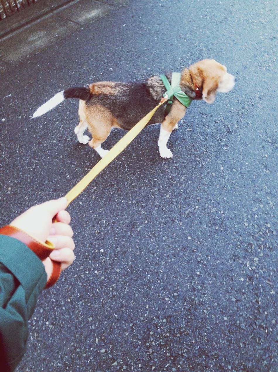 Beautiful stock photos of beagle, Animal Themes, Asphalt, Day, Dog