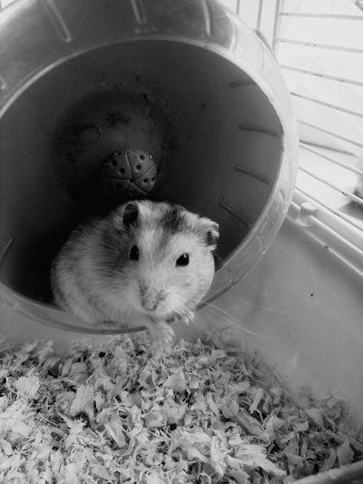仓鼠baby
