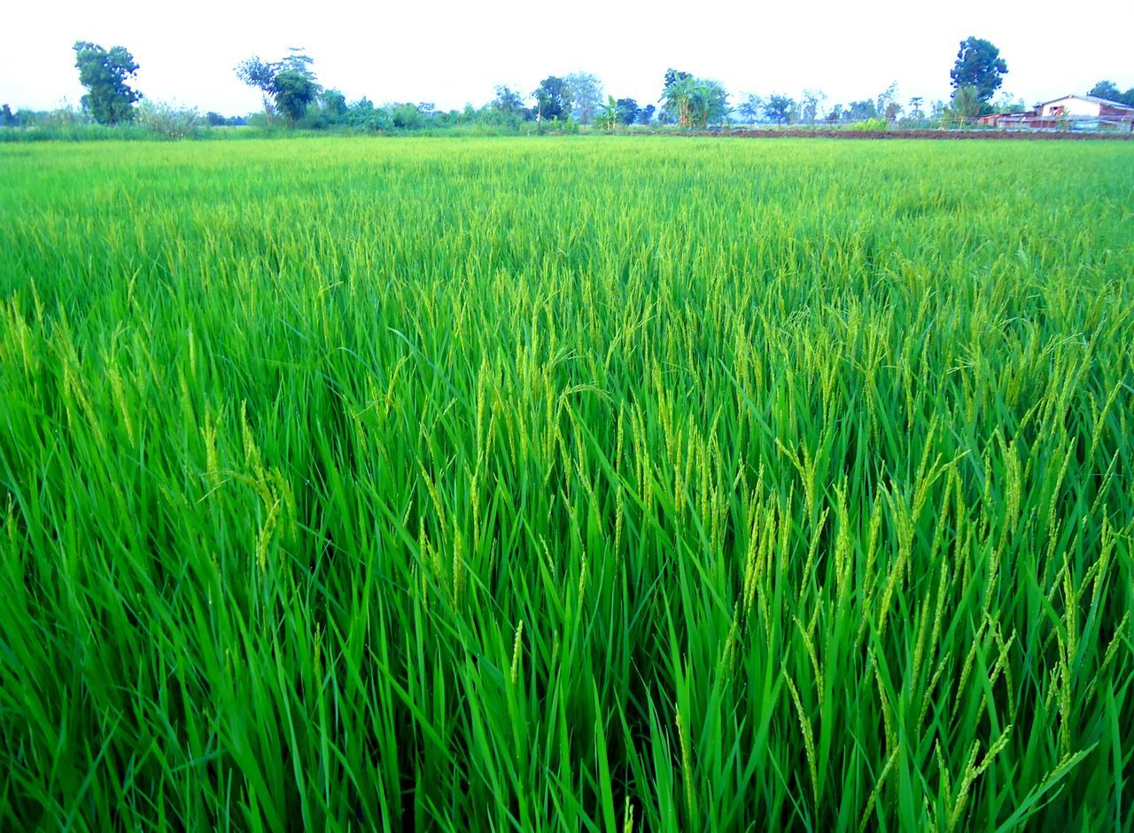 agriculture, growth, field, farm, crop, green color, nature, cereal plant, rural scene, cultivated land, beauty in nature, landscape, tranquility, day, green, scenics, no people, tranquil scene, outdoors, grass, rice paddy, wheat, plant, ear of wheat, rice - cereal plant, sky, freshness