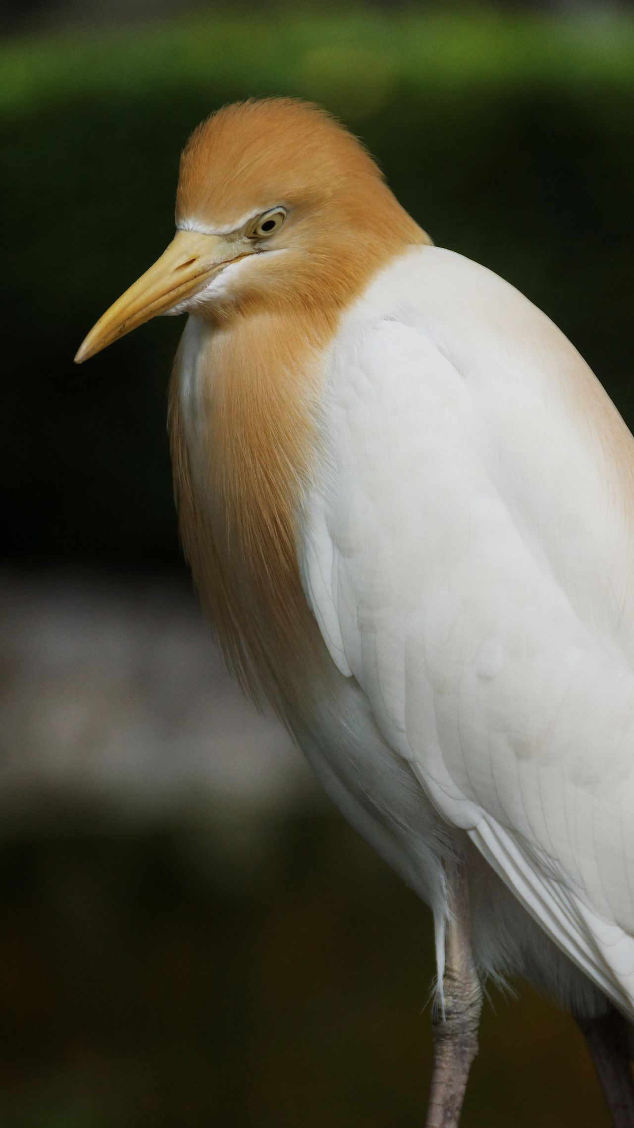 The cattle egret (Bubulcus ibis) is a cosmopolitan species of heron (family Ardeidae) found in the tropics, subtropics and warm temperate zones. One Animal Bird Animals In The Wild Animal Themes Animal Wildlife Beak Close-up Focus On Foreground Day Perching No People Nature Outdoors Beauty In Nature Birdfreaks Bird Watching Birds🐦⛅ Bird Of Prey Cattle Egret Egret Herons Birds Bird Photography Birds_collection Birds Of EyeEm