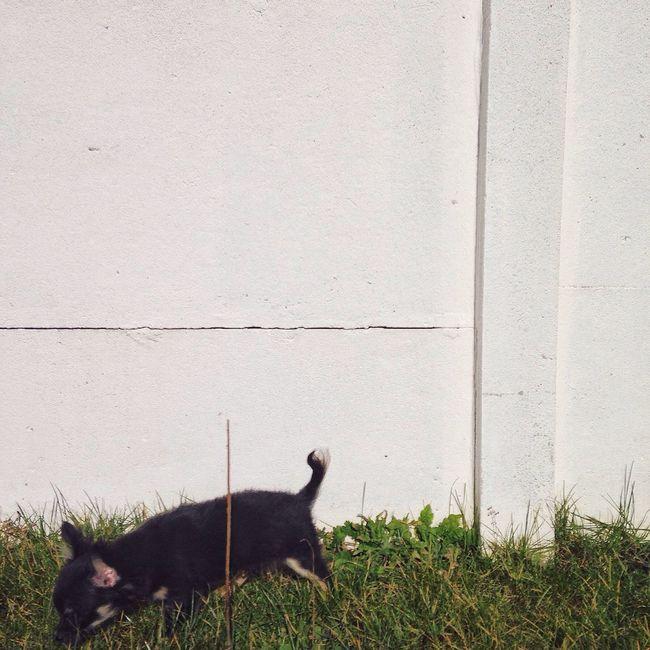 Puppet. Chihuahua Dog Animal Garden Sun Grass Minimalism Little Puppy Cute Lovely Urban Spring Fever