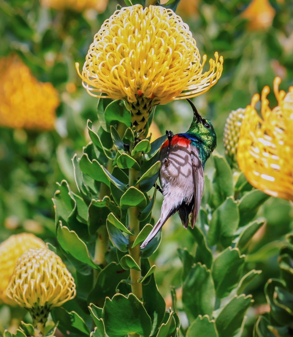 Little cutie Bird Flower Animals In The Wild Wildlife Focus On Foreground Nature Photography Nature_collection Nature Flowers Birds Botanical Gardens Kirstenbosch South Africa Plant