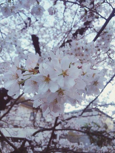 桜咲いているね。^_^ Sakura