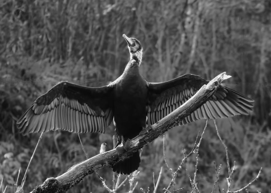 Spread out wings Double-crested CormorantCormorant Bird Blackandwhite Photography Monochrome Bird Photography Wingspan Close Up Branch