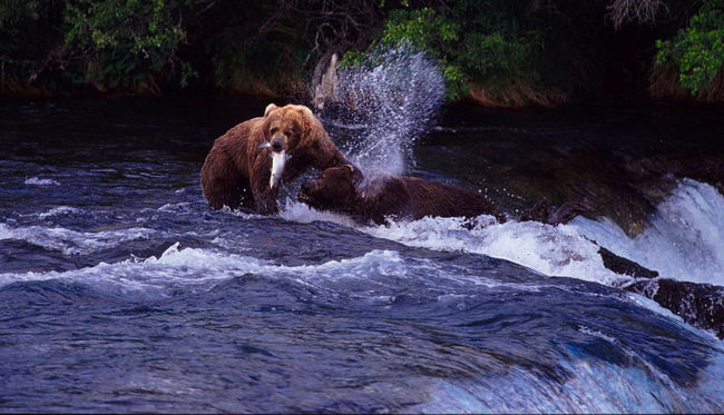 the bears of Brooks Falls and Katmai National Park Animal Themes Animals In The Wild Bear Beauty In Nature Blurred Motion Brooks Falls Fight Flowing Flowing Water Forest Grizzly Lake Mammal Nature No People One Animal Outdoors Rippled River Two Animals Water Waterfall Wildlife