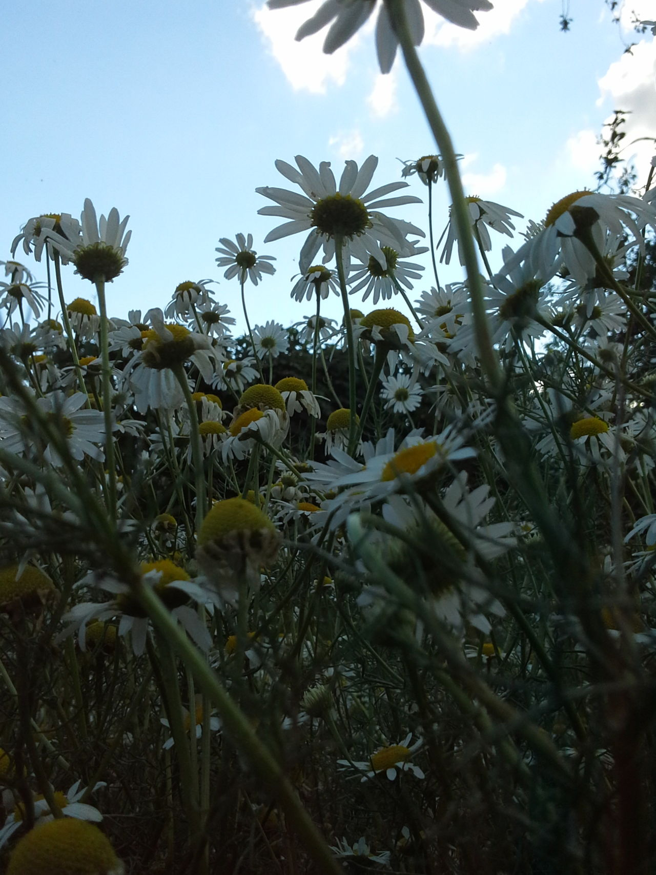Camomile meadow! !! Camomile Meadow Nature_collection Nature Photography Naturally Me EyeEm Nature Lover EyeEm Best Shots - Nature Chamomile Field 🌼🌼🌼🌼🌼 Summer ☀