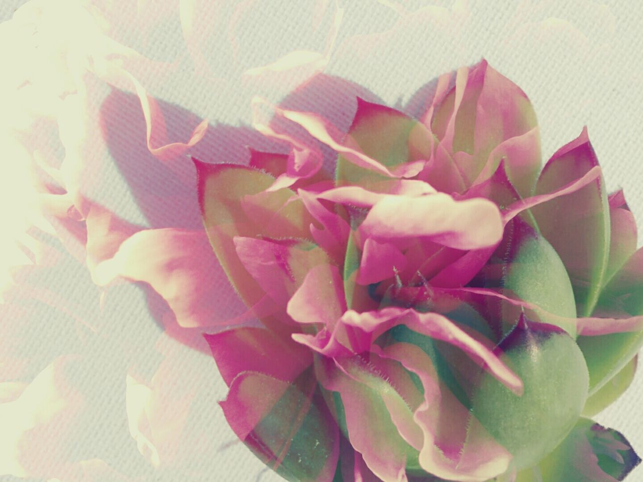 Abstract Flowerhead Double Exposure Succulent Pink White Background Petals Fragile Composition