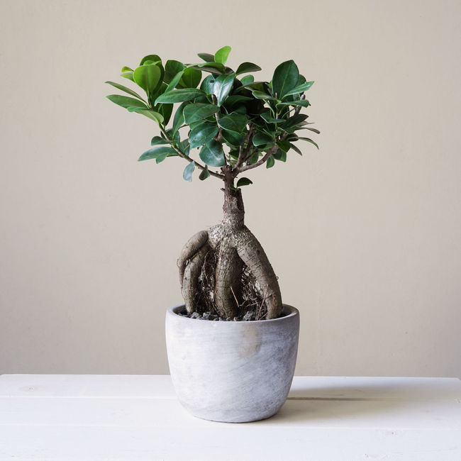 Bonsai Ginseng or Ficus Retusa Bonsai Ficus Ficus Ginseng Ficus Retusa Ginseng Growth House Plant Houseplant Indoor Miniature Minimalism Plant Potted Plant Tree