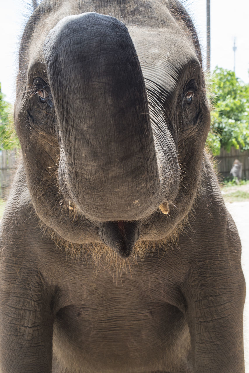 one animal, animal themes, animal body part, animal head, mammal, animal, animal wildlife, close-up, day, domestic animals, outdoors, animals in the wild, elephant, focus on foreground, portrait, no people, looking at camera, livestock, nature, animal trunk