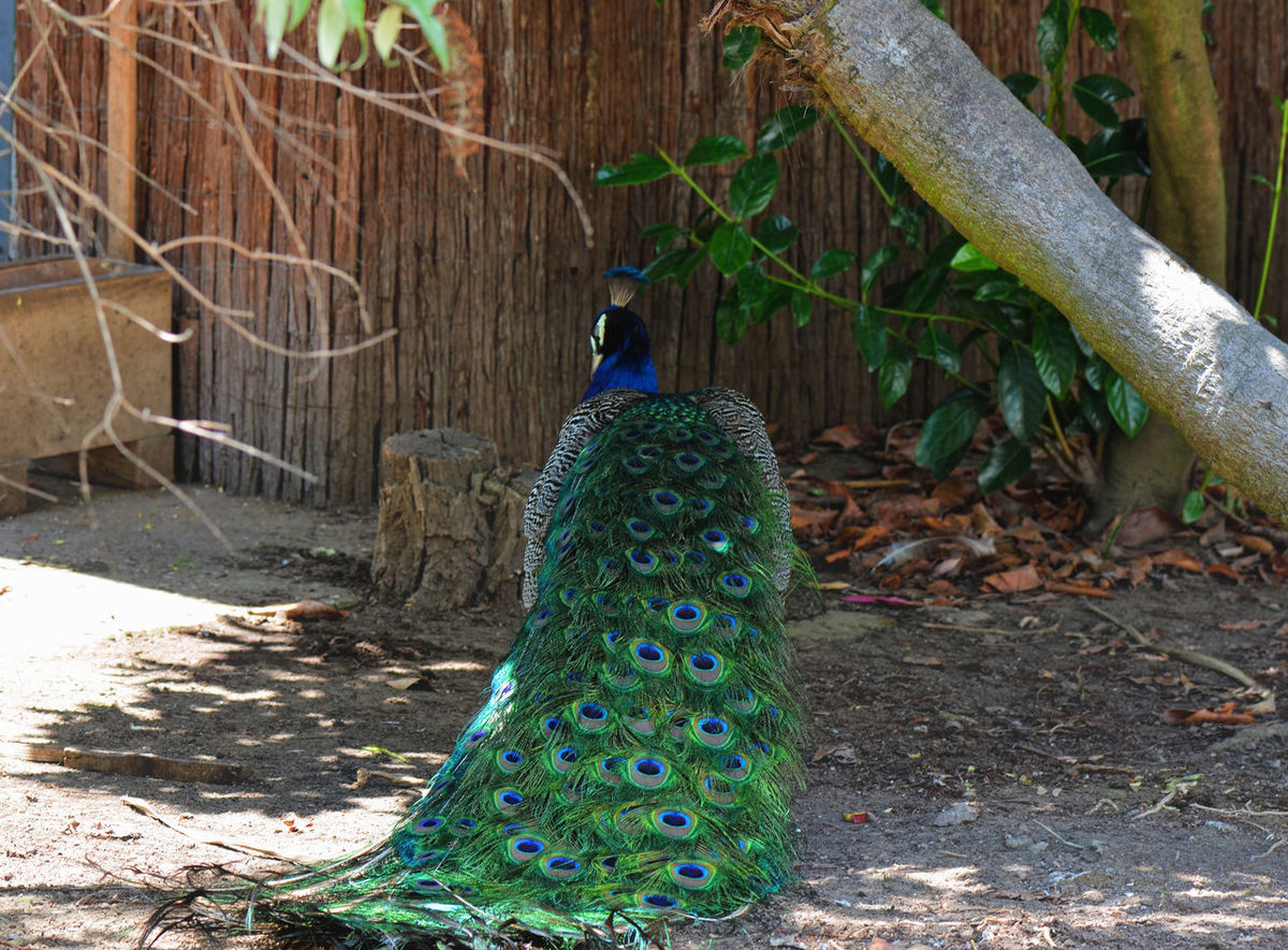 Blue Peacock. Bird Taking Photos Beautiful Beauty In Nature Bird Blue Birds Blue Close-up Colorful Colors Eye4photography  EyeEm Nature Lover Feathers Focus On Foreground Green Color Growth Lifestyles Nature Outdoors Peacock Peacock Bird Peacock Blue