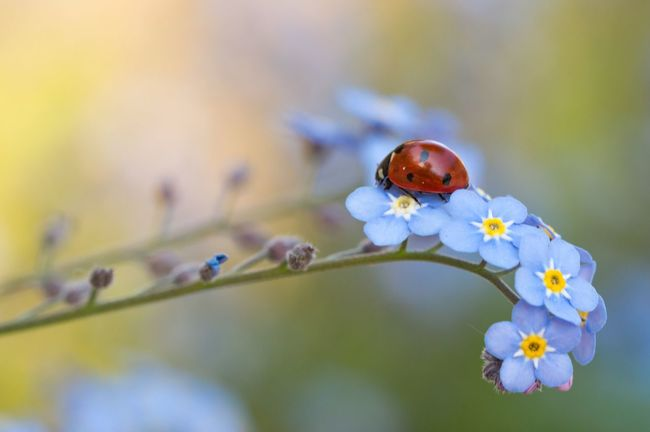 Ladybug on a forget-me-not Flower One Animal Ladybug Ladybird Nature Animal Insect Red Arthropod Coccinella Forget Me Not