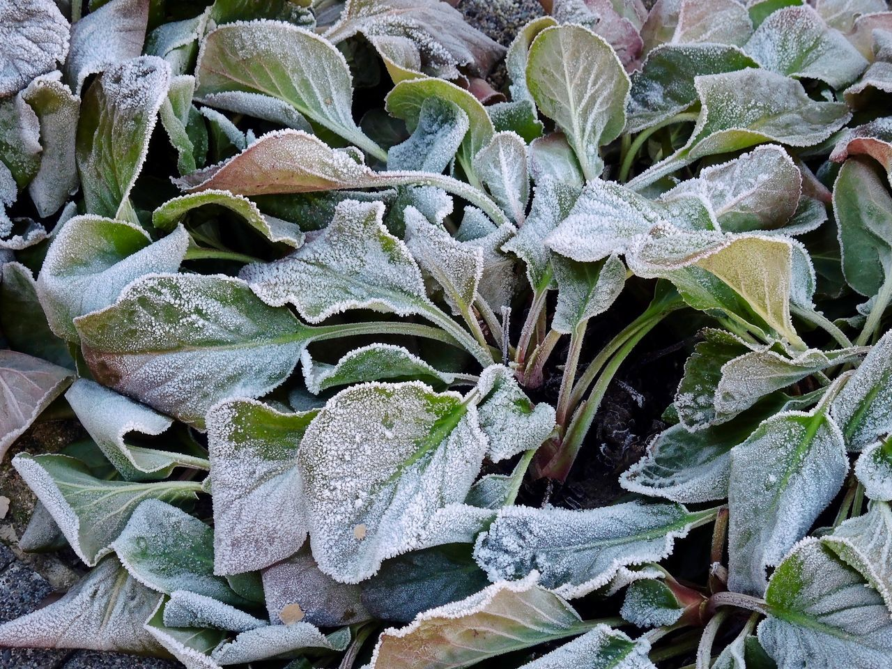 Beauty In Nature Close-up Day Freshness Growth Hoarfrost Nature No People Outdoors Plant White Frost