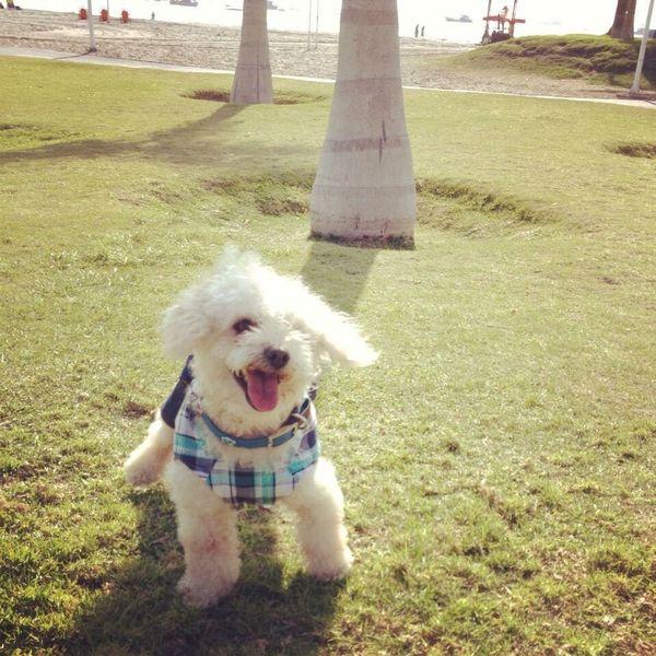 Addu Pet Caniche Canichetoy Poodle Toy Pet Dog Pets Beach Iquique Chile Trip Travel
