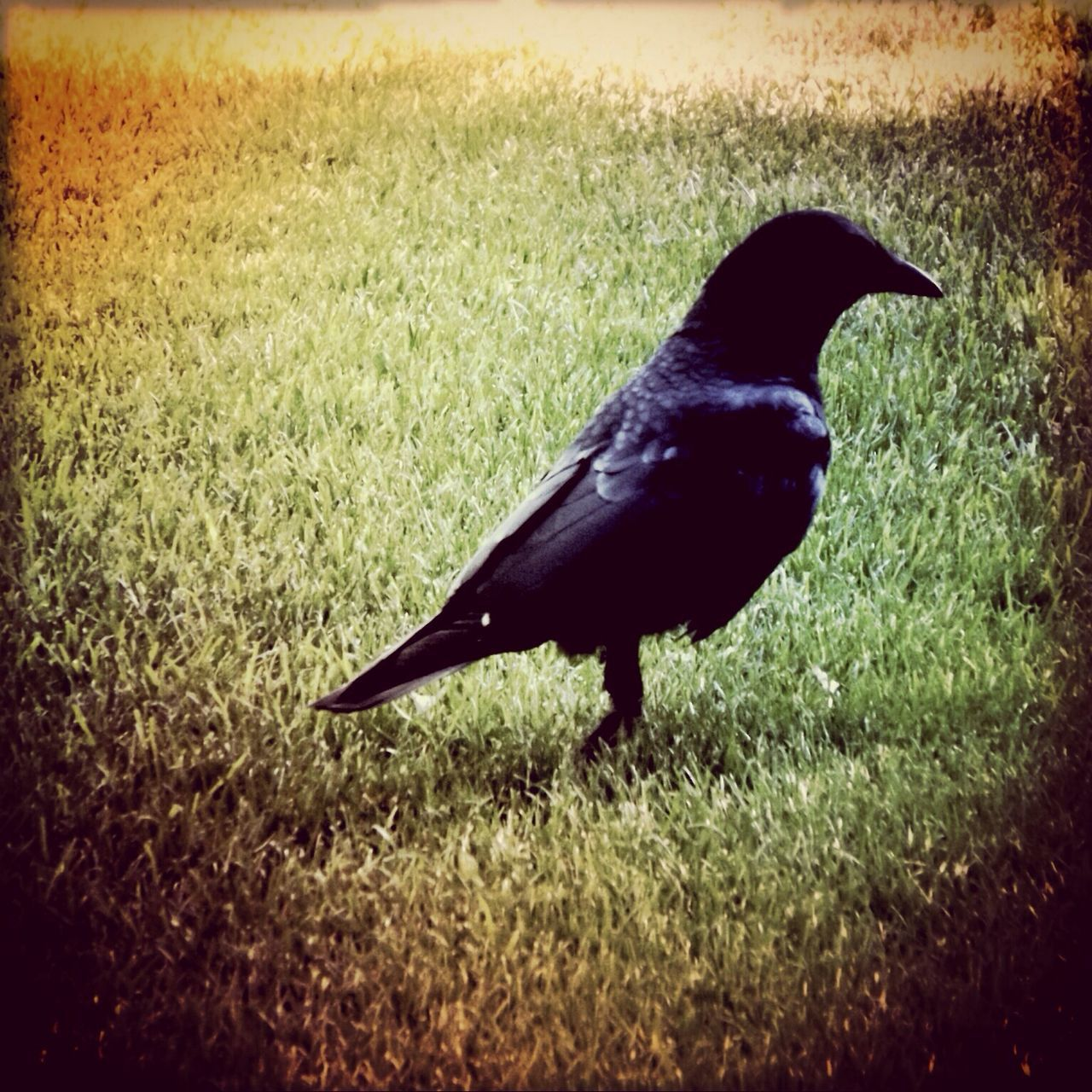 Raven On Grassy Field