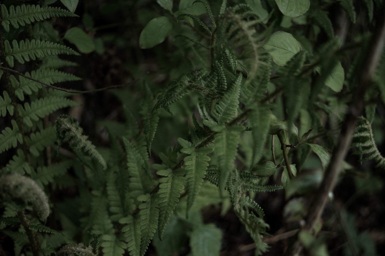 Close-up Fern Ferns Foraging Fougères Green Herbal Macro Nature Outdoors Plant Wild