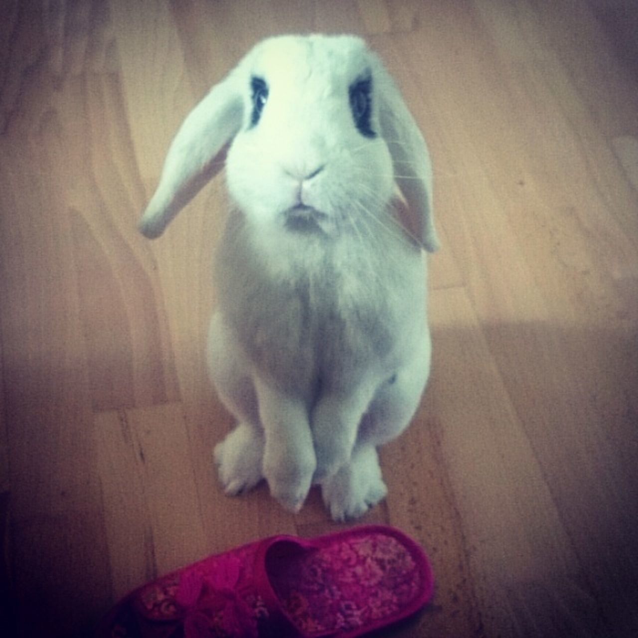 One Animal Animal Themes Indoors  Pets Domestic Animals Animal Looking At Camera Whisker No People Looking At Home Wooden Floor Animal Behavior Flooring Bunny  Bunny Love Bunny Ears  Cute Pets FLUFFY BUNNY