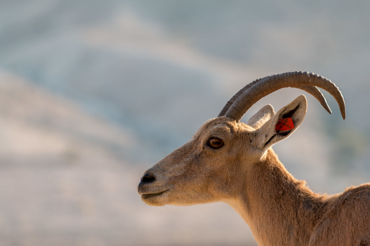 Animal Themes Animals In The Wild Arid Climate Desert Desert Beauty Desert Life Horned Ibex Israel Nature One Animal Outdoors Sde Boker Sdeboker